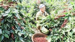 Quảng Trị: Nông dân Hướng Hóa trồng giống cà phê mới lạ, trái chi chít, chín đỏ cả cây