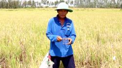 Tuyệt chiêu bẫy bắt chuột đồng béo mẫm của nông dân tỉnh An Giang