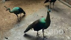 Bình Định: Nuôi thử nghiệm loài chim quý hiếm ở huyện Tây Sơn và điều bất ngờ