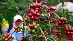 Các nhà sản xuất cà phê ở Indonesia kêu gọi hỗ trợ dưới tác động của đại dịch