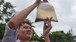 Phú Yên: Vì sao tôm hùm giống nhập khẩu giá rẻ, tỷ lệ sống thấp?