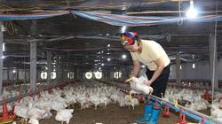 Giá gia cầm hôm nay 13/10: Giá vịt thịt miền Nam mất mốc 30.000 đồng/kg, giá gà công nghiệp giảm sâu