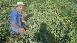 Vì sao chất lượng dưa hấu ở miền Trung-Tây Nguyên kém hơn những vùng khác?