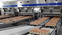 Đại gia Hòa Phát bán gần nửa triệu quả trứng gà sạch mỗi ngày, đứng số 1 miền Bắc