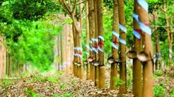 Cao su Tây Ninh (TRC) báo lãi ròng tăng 12% trong quý III/2020