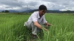 """Từ lão nông gàn dở đến biệt danh """"vua lúa hữu cơ"""" ở Bình Thuận"""