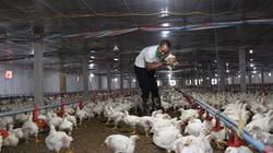 Giá gia cầm hôm nay 16/10: Giá gà lông trắng ba miền vẫn thấp, vịt thịt chững giá