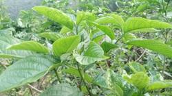 Phú Thọ: Thứ rau rừng lạ nhăn nhẳn đắng, bán được giá, nhiều khi có tiền không mua được