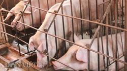 Giá heo hơi giảm, nông dân đứng ngồi không yên vì dịch tả lợn châu Phi