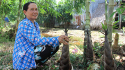 Cà Mau: Trồng loài cây bán được tất tần tật, không bỏ đi thứ gì, ông nông dân kiếm bộn tiền