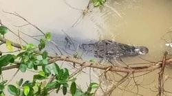 Đồng Tháp: Con cá sấu khủng dài 1,5m bơi trên sông ngay bến đò, dân tình hoảng hốt
