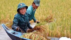 Cà Mau: 16.000ha lúa bị ngập, bộ đội, dân quân tự vệ ào xuống giúp dân thu hoạch