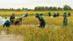 Cà Mau: Bộ đội giúp dân cắt lúa, đắp bờ vuông do ngập lụt