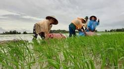 Bạc Liêu: Đến khổ-giữa mênh mông nước, chủ hồ nuôi tôm công nghệ cao lo ngay ngáy, nông dân bì bõm be bờ cứu lúa