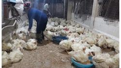 """Giá gia cầm hôm nay 2/10: Giá gà thịt công nghiệp tiếp đà giảm, người nuôi """"ngồi trên đống lửa"""""""