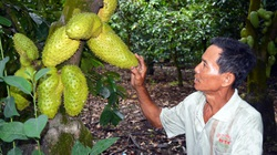 Sóc Trăng: Nông dân trồng cây đặc sản, nuôi con đặc sản mà thu tiền tỷ