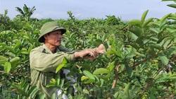 Hải Dương: Thuê đất hoang trồng ổi, nuôi rươi cáy, Thanh Hà xuất hiện những nhà giàu mới nổi