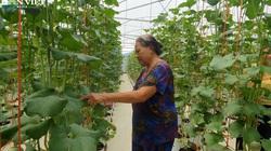 Trồng dưa lưới trong nhà màng, nông dân Hà Tĩnh chỉ việc đếm quả thu tiền