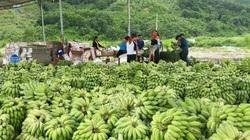 Bỏ cây thuốc phiện, dân xã nghèo trồng cây dược liệu, cây ăn quả, đời sống ấm no