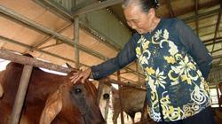 """Long An: Nuôi 200 con bò lạ to khỏe như """"lực sĩ"""" ứng dụng công nghệ cao, bà nông dân U80 là tỷ phú"""