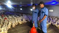 Giá gia cầm hôm nay 24/10: Giá gà, vịt bấp bênh, vì sao người nuôi vịt ở đây vẫn kiếm được tiền tỷ?