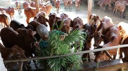 """Bò thịt, bê giống """"rủ nhau"""" tăng giá, nông dân tỉnh Bến Tre nuôi bò vỗ béo, nuôi bò siêu thịt ai cũng mừng"""
