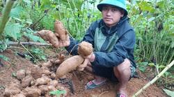 Lào Cai: Vùng đất trồng thứ cây lạ lẫm, nhổ 1 gốc lên cả chùm củ, tên là sâm mà bán rẻ như khoai lang