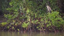 10 tỷ đồng và cơ hội tái sinh 150ha rừng ngập mặn tại Vườn Quốc gia Mũi Cà Mau