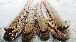 Đồng Nai: Vào rừng Sác xem bắt loài cá bống sao, trước là món ăn người nghèo nay thành đặc sản nhà giàu