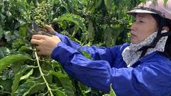 Nguồn vốn lớn giúp nông dân Gia Lai tái cơ cấu nông nghiệp