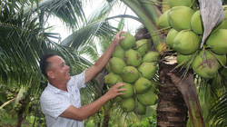 Long An: Trồng thứ dừa lạ, cây thấp tè đã đeo đầy trái, nước dừa thơm mùi dứa, ông nông dân đổi đời
