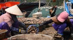 Hơn 100.000 tấn hải sản đã quá lứa: Ngư dân Quảng Ninh đứng ngồi không yên