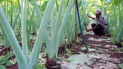 Hậu Giang: Trồng thứ cây ra bẹ cao lút đầu người, lá to như tai voi, cứ 1 công đất thu hàng chục triệu