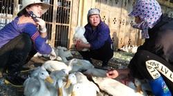 Giá gia cầm hôm nay 4/10: Thương lái tăng mua, giá vịt thịt hai miền tăng cao