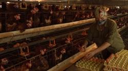 """Nuôi gà Ai Cập """"máy siêu đẻ trứng"""", gia đình nông dân U60 thu hàng tỷ đồng mỗi năm"""