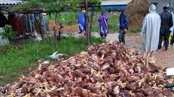 Giá gia cầm hôm nay 31/10: Chủ trại xót xa nhìn đàn gà vạn con sắp được bán chết la liệt