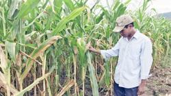 Gia Lai: Lạ, ở đây nông dân trồng thứ bắp gì mà không cần bẻ trái, ít công chăm vẫn lãi hơn bắp thường?