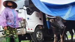 VIDEO: Dựng lều trên đê cho trâu bò tránh lũ