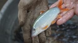 Nuôi cá linh, cá heo đặc sản ở vùng lũ tỉnh An Giang
