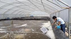 Lợi ích nuôi tôm thâm canh bằng công nghệ Biofloc: Giảm chi phí, tôm nhanh lớn