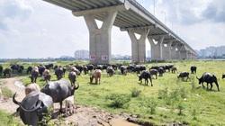 """Hà Nội: """"Nữ tướng"""" sở hữu đàn trâu tiền tỷ gần 200 con, chỉ chăn thả tự nhiên mà bán đắt tiền"""
