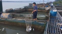Cá lồng sông Đà phơi bụng chết: Nông dân Phú Thọ trắng đêm cứu cá