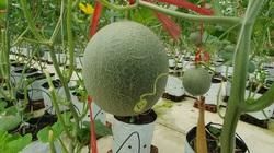"""Hà Tĩnh: Bà nông dân U70 """"chơi lớn"""" trồng dưa lưới công nghệ cao, hái trái nào lái khuân đi hết sạch"""