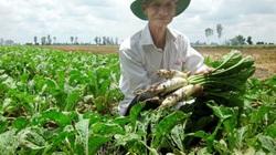 Tăng thu nhập nhờ trồng củ cải trắng