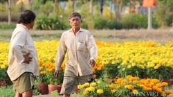 Lo ngại dịch Covid-19, nông dân giảm diện tích xuống giống hoa tết