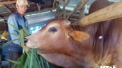 Ninh Thuận: Nuôi những con bò lạ vóc dáng to bự, nhà nào chăn nuôi bò vỗ béo nhà đó khá giả