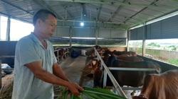 Chở cỏ bằng ô tô mang về chăn nuôi những con bò to bự, ông nông dân tỉnh Yên Bái ăn chắc 30 triệu/tháng