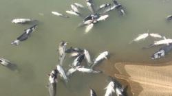 Thêm hàng chục tấn cá chết do thủy điện Hòa Bình xả lũ