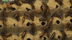 Mở cả trang trại nuôi con côn trùng bé tí, bò lổm ngổm, đôi vợ chồng ở Hà Nội thu hàng trăm triệu mỗi năm