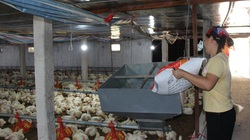 Giá gia cầm hôm nay 9/10: Giá gà thịt công nghiệp miền Nam vẫn chìm sâu, vịt thịt bán chậm